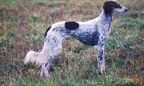 Bäckengördeln – för att hunden är bakhjulsdriven